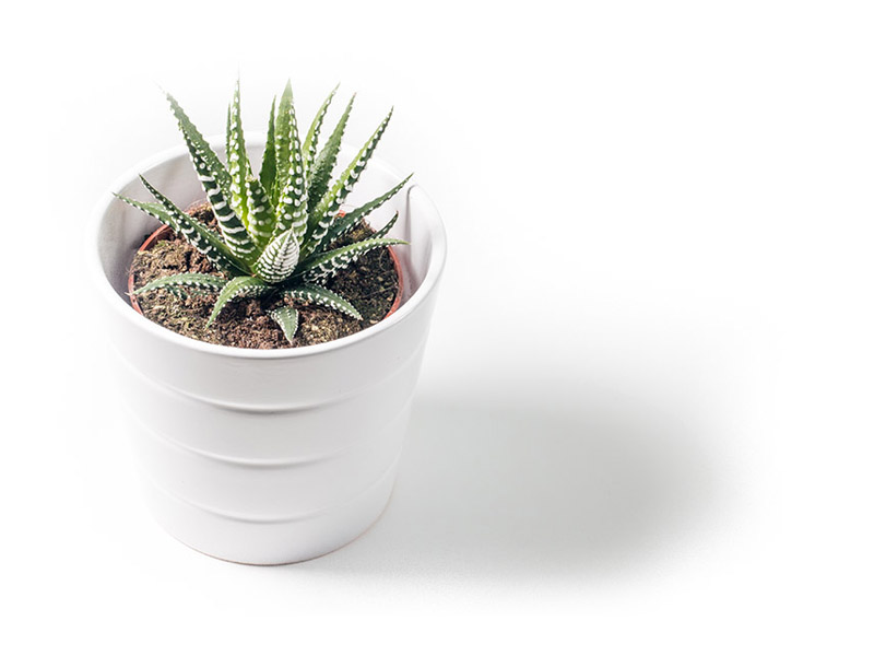Isolated Succulent Plant delivery